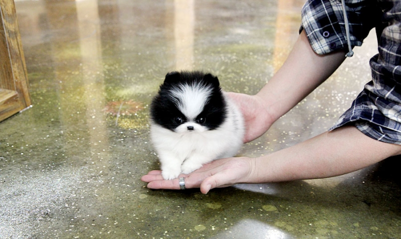 Fantastic mini Pomeranian puppies ready
